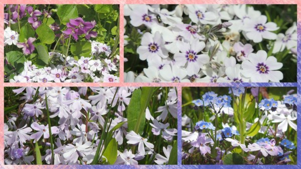 moss phlox collage