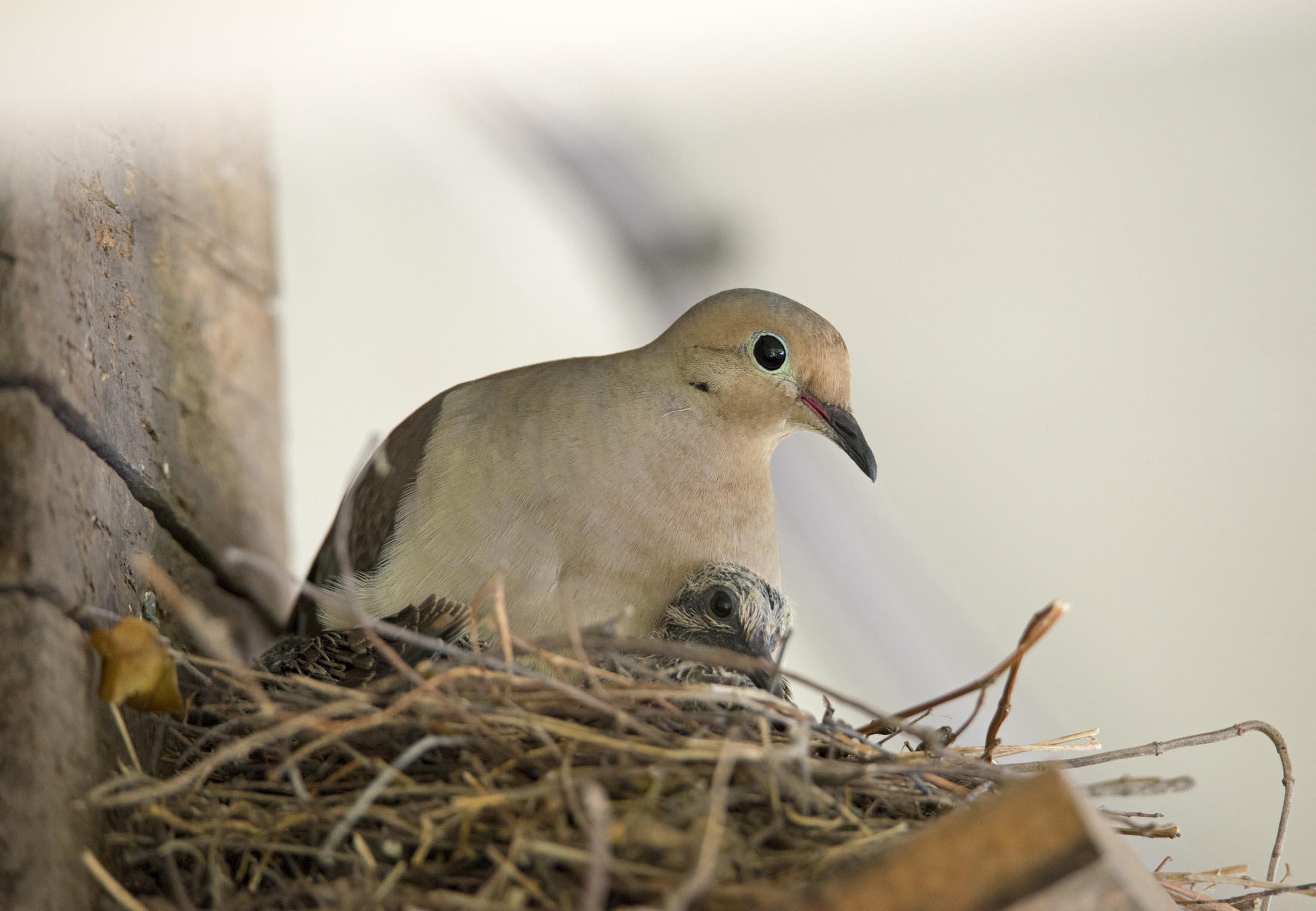 Mourning Doves Hatched Gardens For Goldens