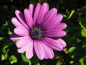 Osteopermum or African Daisy