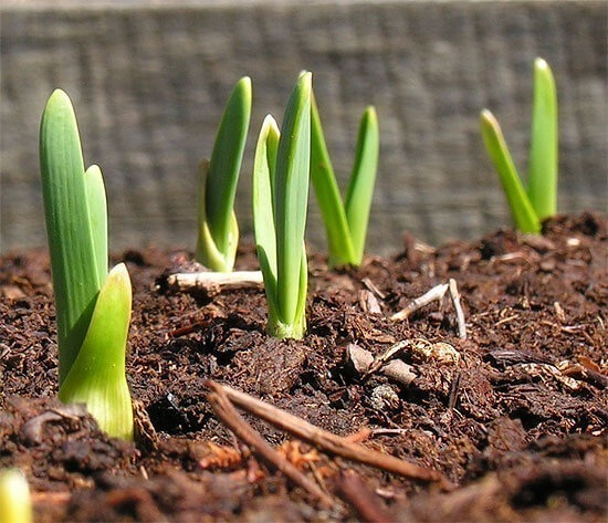 Watch for Garlic Shoots in Early Spring
