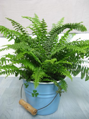 Tips for Growing Ferns Indoors
