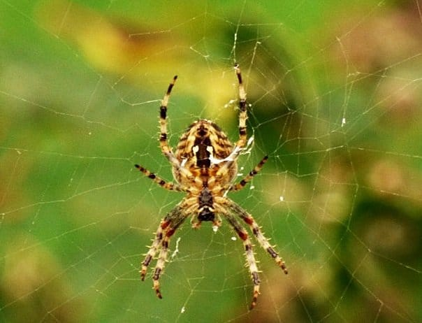 Our Friends The Garden Spiders