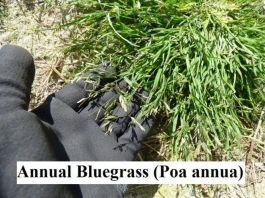 Annual Bluegrass (Poa annua)