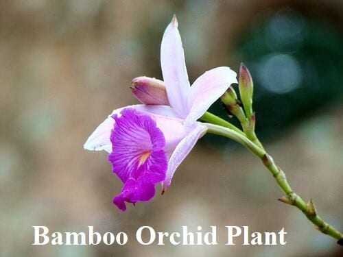 Bamboo Orchid Plant