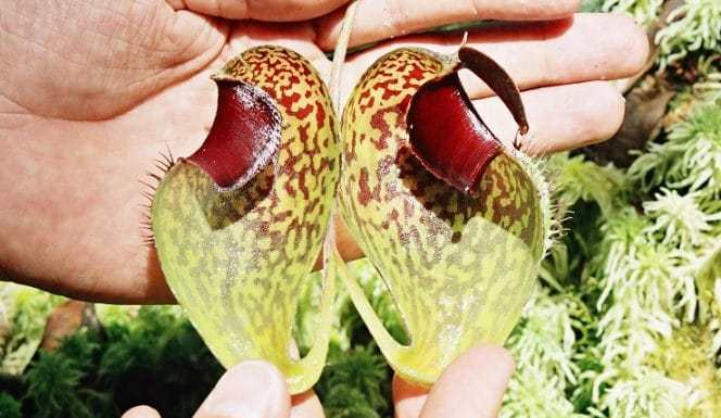 Complete Guide Carnivorous Plants in Home Garden