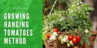 Growing Hanging Tomatoes Method