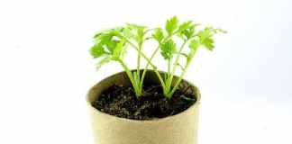 Growing Parsley in your Garden and Windowsill