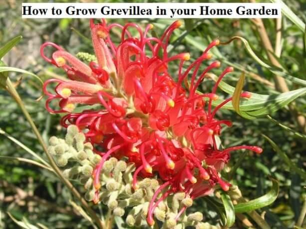 How to Grow Grevillea in your Home Garden