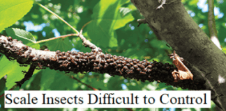 Scale Insects Difficult to Control