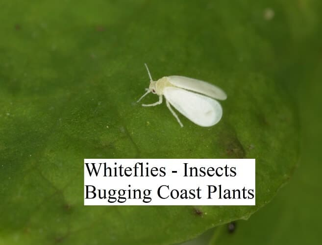 Whiteflies - Insects Bugging Coast Plants