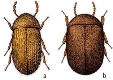 cigarette and drugstore beetles