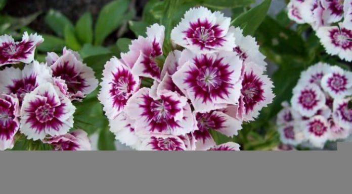 Biennials Flowers Growing Tips