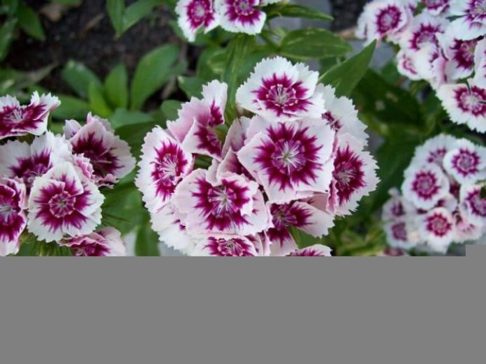 Biennials Flowers Growing Tips