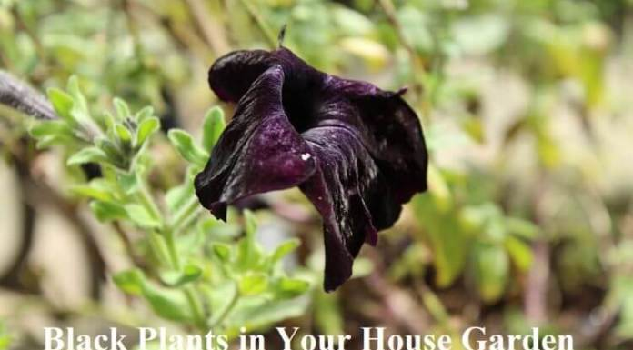 Black Plants in Your House Garden