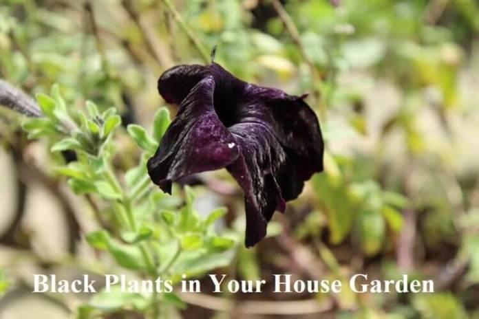 Black Plants in Your House Garden