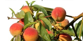 How to Grow Peach in your Home Garden