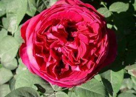 Hybrid perpetual rose