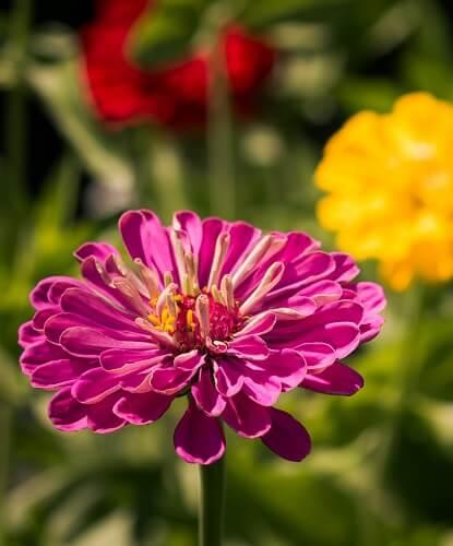 Zinnias: How to Plant, Grow, and Care for Zinnia Flowers