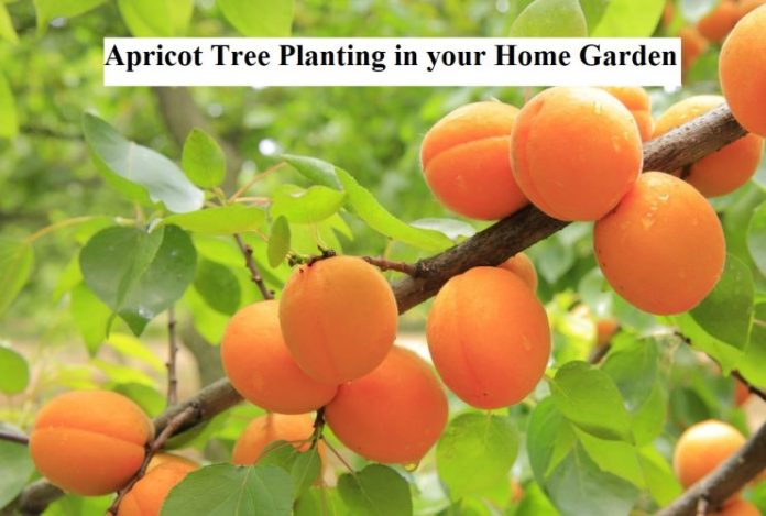 Apricot Tree Planting in your Home Garden