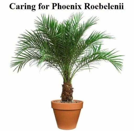 Caring for Phoenix Roebelenii