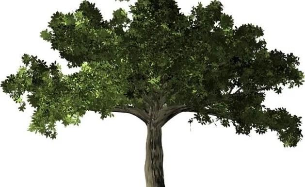 Ficus Tree Planting Tips