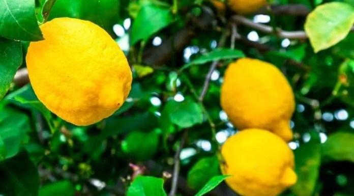 Lemon Tree Planting Tips and Tricks