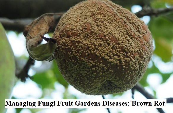 Managing Fungi Fruit Gardens Diseases: Brown Rot