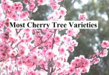 Most Cherry Tree Varieties