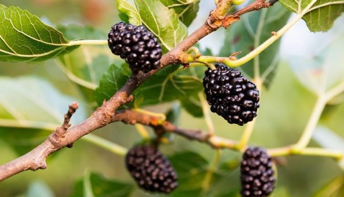 Mulberry Tree Planting at your Home Garden
