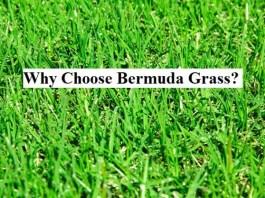 Why Choose Bermuda Grass?