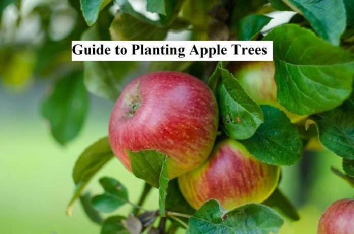 Guide to Planting Apple Trees