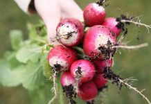 How to Grow Organic Radishes