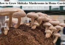 How to Grow Shiitake Mushrooms in Home Garden