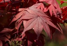 Japanese Maple - Complete Guide