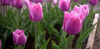 Useful Tips for Growing Real Tulips
