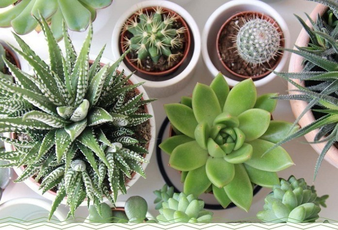 Top 5 Succulent Plants And Growing Tips In Containers Gardens