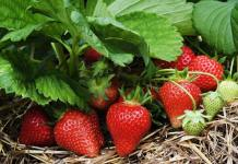 Growing Strawberries - Gardening Tips