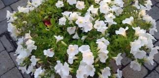 Planting Gardenia - Best Beautiful Flowers in your Garden