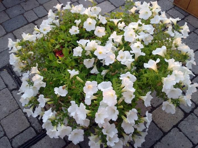 Planting Gardenia - Best Beautiful Flowers in your Garden