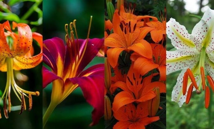What Are Different Types of Lilies