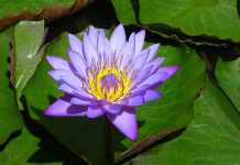 Knowing More About The Beautiful Blue Lotus Flower
