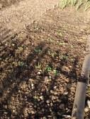 Radish & Turnips
