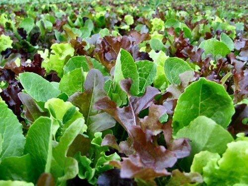 Lettuce  growing in rooftop garden
