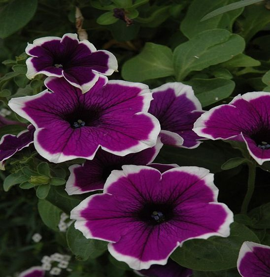 Petunia Flower for the Sun