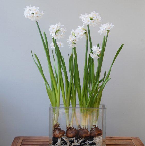 Paperwhite Narcissus plant