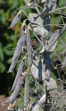 Powdery mildew symptom on a pea plant