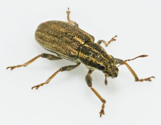 adult pea weevil