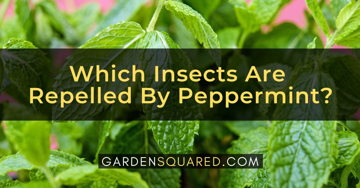 Which Insects Are Repelled By Peppermint