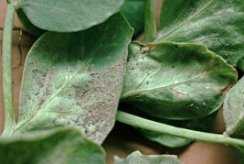 downy mildew symptom on pea plant underside
