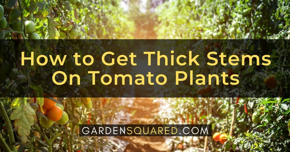 How To Get Thick Stems On Tomato Plants